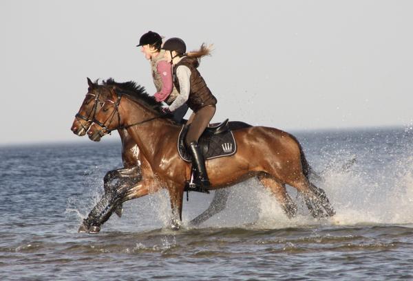 pferd sport zucht und sport in schleswig holstein und hamburg holsteiner zucht artikel. Black Bedroom Furniture Sets. Home Design Ideas